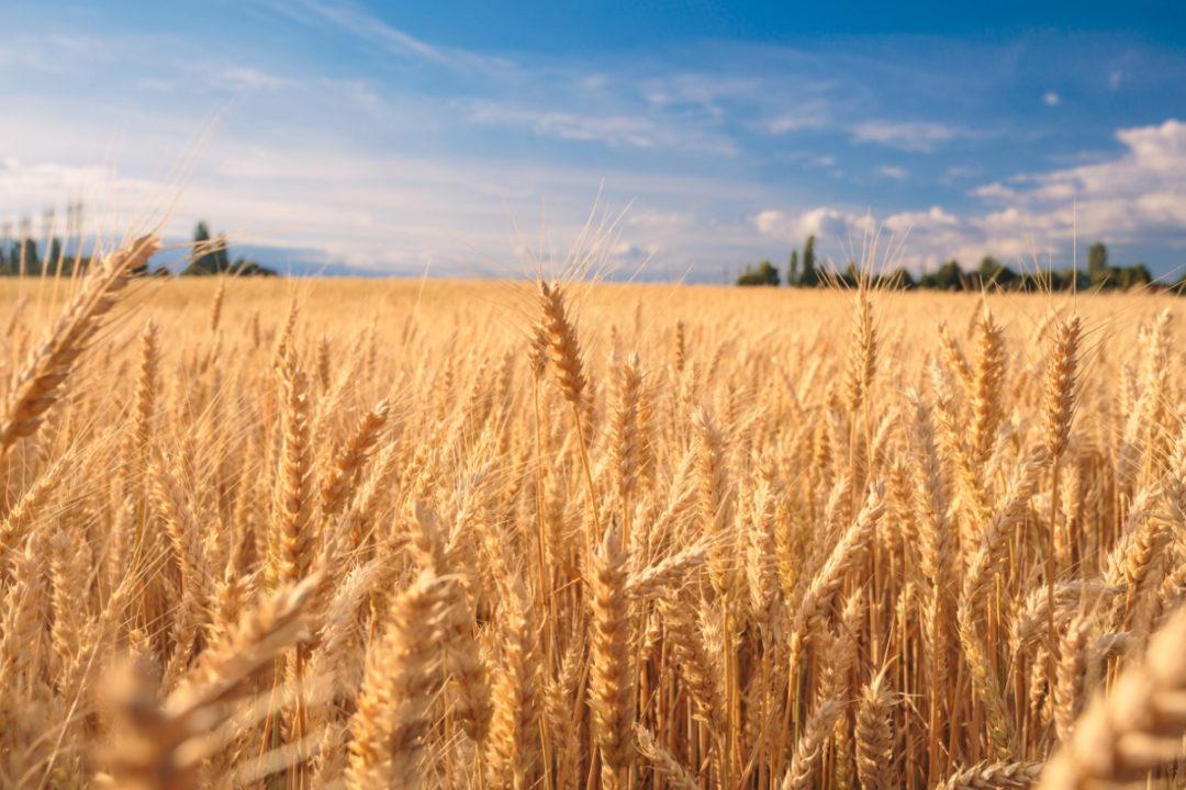 A cerveja e o trigo: parceiros históricos